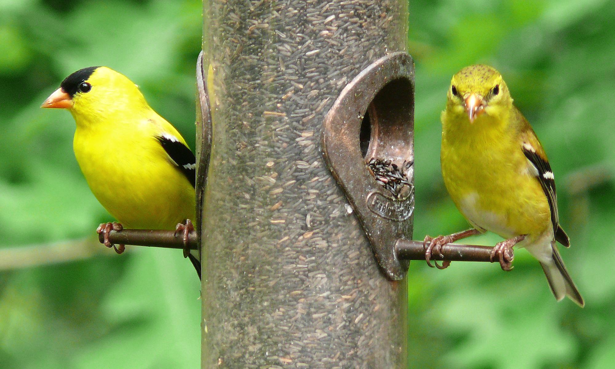sfv backyard bird identification u2013 san fernando valley audubon society