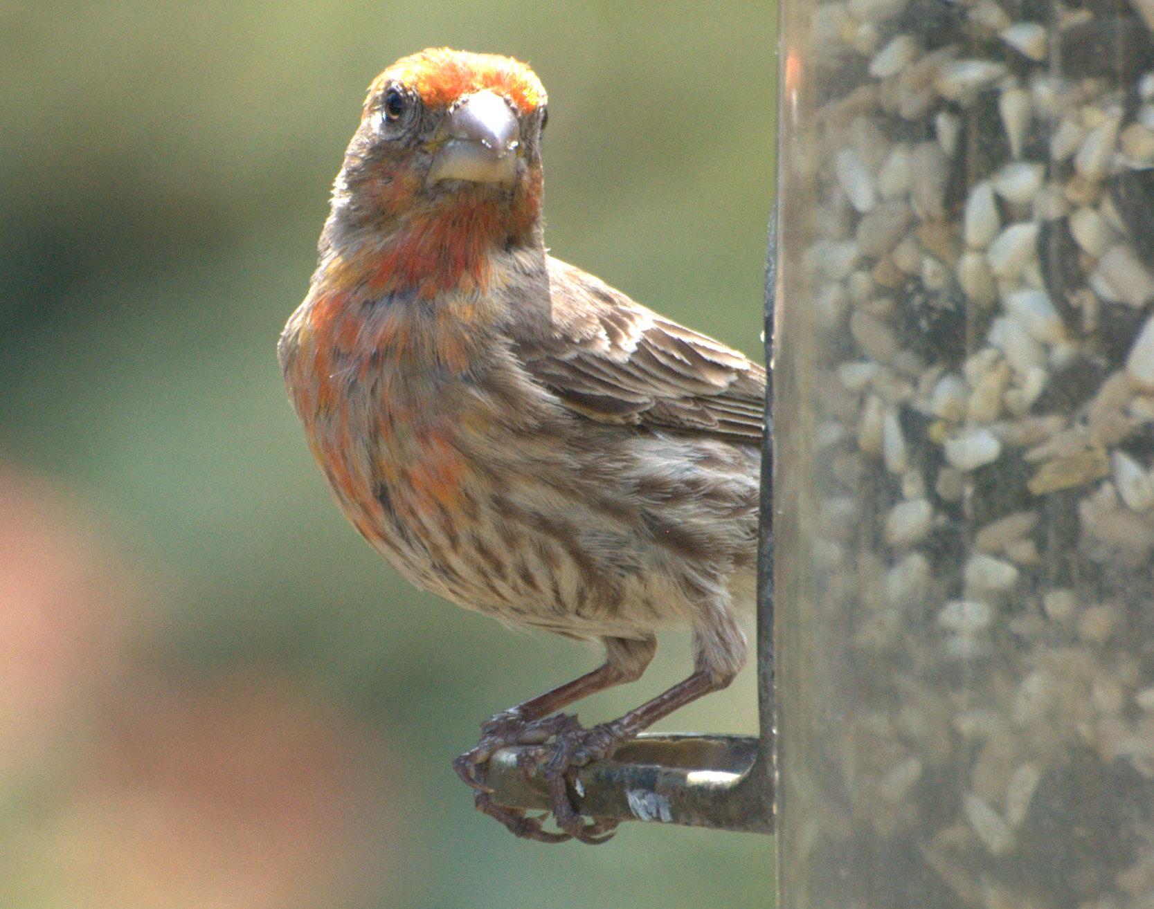 SFV Backyard Bird Identification - San Fernando Valley ...