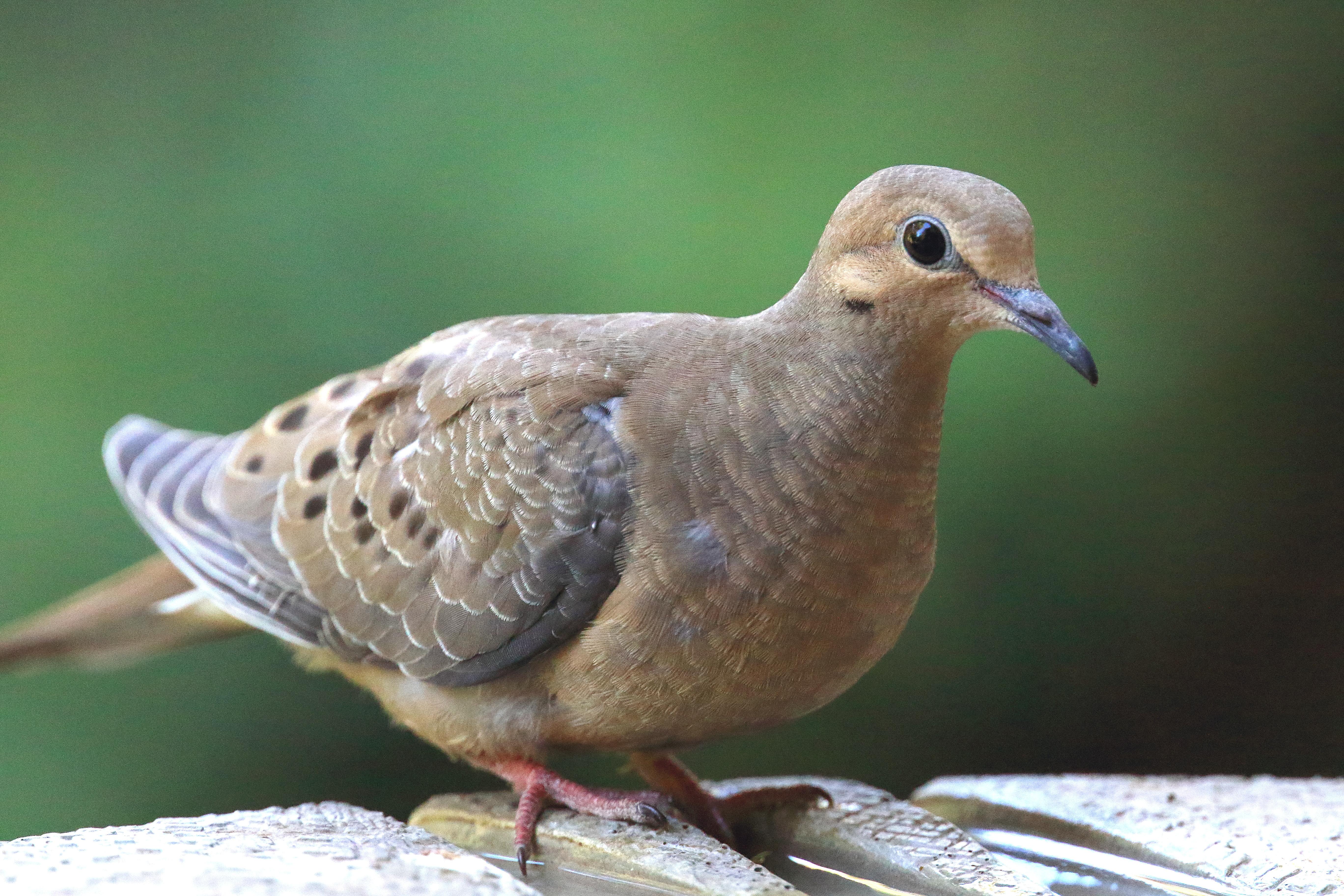 Sfv Backyard Bird Identification San Fernando Valley Audubon Society