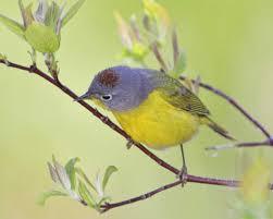 Stolen - Audubon