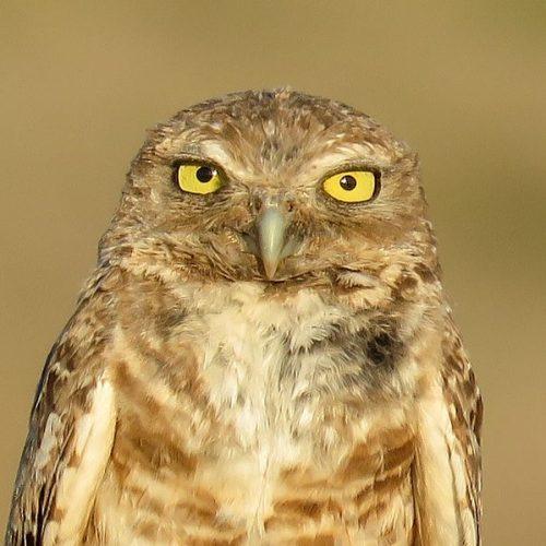 Burrowing_owl_Athene_cunicularia